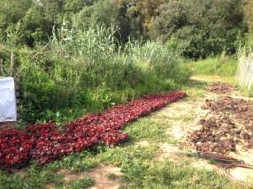 les begònies llestes per plantar
